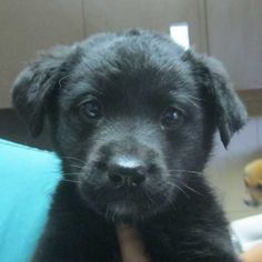 Ravyn is a #BorderCollie blend #puppy up for #adoption in #SanDiego. Good with adults, children, dogs and cats! Jan 2013 Stop by and fall in love with her! #Adopt