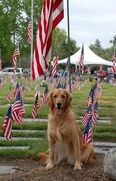 All american dog the Golden Retriever ! flag, puppi, all american dog, friend