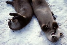 Otters Happily Roll in the Snow and Play with Branches - Via Smithsonian's National Zoo