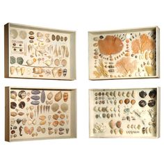 SHELL COLLECTION IN LATER GLAZED DISPLAY CASES, #shells