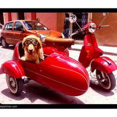vespa vita, dream come true, sidecar wwwlavespavitacom, la vespa, vespa sidecar, random, sidecar rig, dog, scooter sidecar