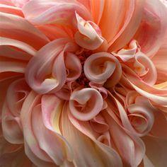 gorgeous peach colored Cafe au Lait dahlia bloom