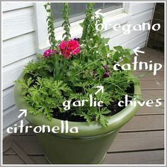Potted Mosquito Repellant by marlene