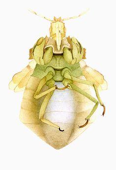 Ambush Bug from Hill / Hess Road, USA - Three Mile Island, Pennsylvania, U.S. - Watercolors of irradiated insects by Cornelia Hesse-Honegger