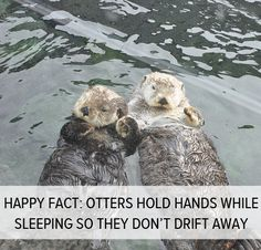Happy fact: Otters hold hands while sleeping so they don't drift away from the group.