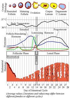 average cycle