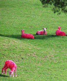 Real Pink Albino Calves!