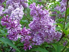 Close-up of one our robust lilac bushes.