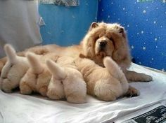 Chow-Chow babies & their mama