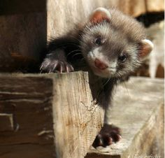 very cute baby ferret..