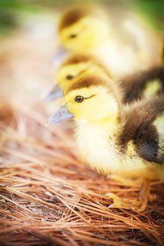 baby ducks..so beautiful.