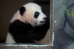 Knock-knock! / Who's there? / Mei. / Mei who? / One of the Meis.  #ZAPandaCubs