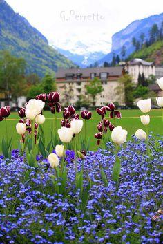 Tulips in Interlaken, Switzerland