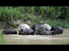 Elephants free in the wild at Kui Buri National Park south of Hua Hin http://www.youtube.com/watch?v=_HxZ4lSuKbU Thailand #elephants what to see and do best sights and attractions in Hua Hin