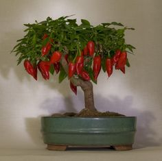 chili bonsai