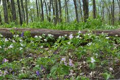 A blanket of Trillium on the mountainside at The Cove in Asheville, NC.  #wildflowers #GodsCreation #Beauty