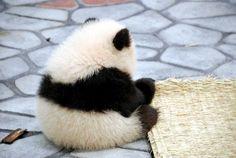 bear, baby pandas, ball, pet, white, fur, baby animals, cub, black