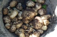 How to Plant and Grow Potatoes.. beautiful planters!!! :)