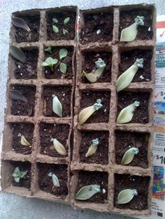 succulent leaf propagation...LIGHT BULB! i could use egg cartons for this.