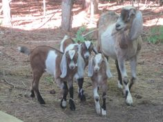 Nubians goats are said to have some of the best tasting milk.