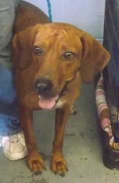 eu date 09/23/14-Dixie~ Breed:Redbone Coonhound (short coat) Age: Adult Gender: Female Shelter Information: Johnson City/Washington Co. Animal Shelter 525 Sells Ave  Johnson City, TN Shelter dog ID: Dixie Contacts: Phone: 423-773-8510 Name: Hannah Greene email: jcanimalshelter@embarqmail.com About Dixie:
