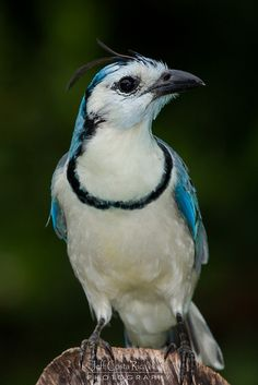 White-throated Magpie-jay by Jeff Costa Rica Photography