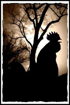 rooster silhoutte