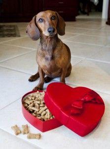 Valentine Dachshund dog