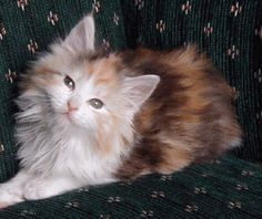 Maine Coon.Looks just like my Abigail