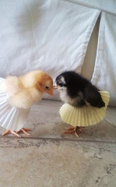 chicklets in cupcake paper tutus.  if I had chickens, I would do this.  Instead, I will keep this picture and laugh ridiculously every time I see it.  I cracks me up!