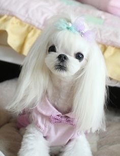 Adorable Maltese cut