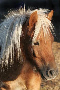 Mini Horse Portrait Two
