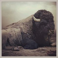 magnificent American bison which once roamed the wild West