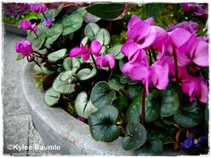 """You know how guys always say """"I read Playboy for the articles?"""" Well I plant hardy Cyclamen for the leaves..."""