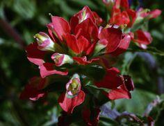 Texas Indian Paintbrush-Desert Botanical Garden