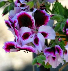 how to propagate geraniums from cuttings