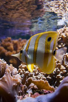 *Butterfly Fish