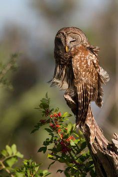 Sleepy Head - barred owl