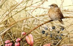 marjorlein bastin, naturalist draw, bastin art, marjolein bastin