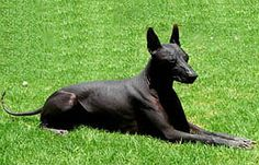 Xolos are an ancient, naturally selected breed