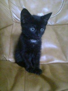 Joey Quelqu'un pour un tout beau chaton noir ?   Joey attend une nouvelle famille adoptive !   C'est un mâle âgé de 3 mois... LISA (Ligue dans l'Intérêt de la Société et de l'Animal)(Ardennes)