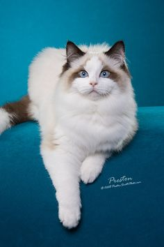 Is this not the most beautiful Ragdoll Cat ever?