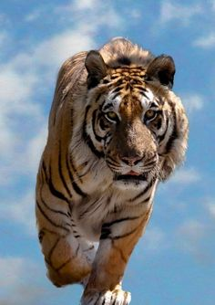 angles, animals, big cats, animal pictures, life of pi, cloud, wildlife, baby girls, tigers
