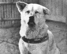 Hachiko, an Akita Inu, is one of the most loyal dogs in history. Hachiko would meet his owner every day at Shibuya Station in Tokyo as the owner returned from work. In 1925, the owner died while at work and never returned home. Hachiko returned to the train station day after day, even escaping from new owners to await the return of his deceased owner.