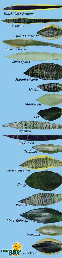 varieties of snake plants