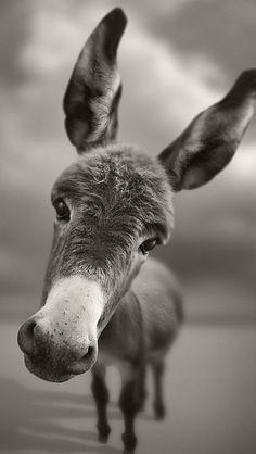 `donkey