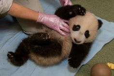 See San Diego Zoo's baby Giant Panda nap after his Vet check! Great pictures and must-see video, today on Zooborns.