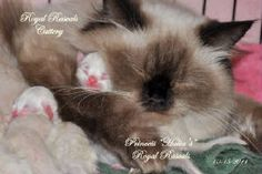 Such A Good Mommy To Her Kittens http://www.royalrascalscattery.com/id2.html