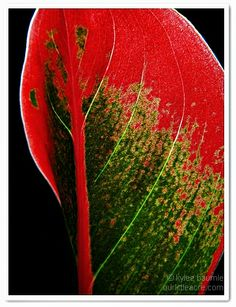"Our Little Acre: ""Wordless Wednesday: Aglaonema Red"""