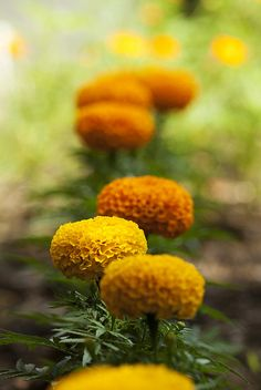 marigolds: Also did you know, marigolds are natural misquito repellers? Mosquitos love me, and I now love marigolds more than ever!